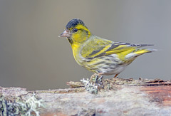 JWL9644  Siskin.. (jefflack Wildlife&Nature) Tags: siskin siskins avian animal animals wildlife woodlands forest finch finches forests pineforest countryside cairngorms highlands trees hedgerows songbirds nature birds wildbirds ngc npc