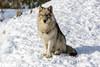 _D6X1488 (pxr57) Tags: sainteannedebellevue québec canada ca coyote nikon d600 eco zoo