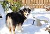 Officially Spring - Echo's first real snow (sturner404) Tags: spring march 2018 snow aussie australianshepherd dog dogs echo jax fun play