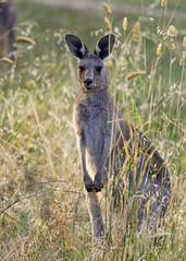 Kangaroo at Jerrabomberra Wetlands (Ian.Gatecrasher.Media) Tags: act canberra jerrabomberra jerrabomberrawetlands molongloriver naturereserve wetlands australia habitat kangaroo migratingbirds