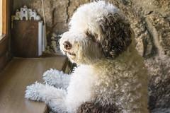 as a gentleman (ninestad) Tags: dog perrodeaguaespañol ventana casa piedra madera interiores window home stone town