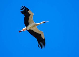 Stork, arriving back from Africa, returning to base.