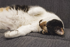 *** (donnicky) Tags: cat closeup dof domesticanimal home indoors lookingatcamera lying nopeople oneanimal pet publicsec relaxation selectivefocus sofa лилу