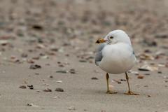 Ring-billed Gull (mattbpics) Tags: gull ringbilledgull canon 70d tamron 150600 150600mm longbeach stratford