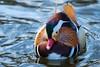 kbs - -7656 (ericvdb) Tags: duck mandarinduck bird