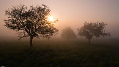 Wet dreams (Eifeltopia) Tags: wiese saarland trees bäume germany deutschland wet nass meadow dream traum autumn sunlight warm fog nebel mist panoramic morning nature glow light dew