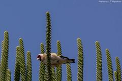 Posa dall'alto (Francesca D'Agostino) Tags: cardellino goldfinch uccellino birdie cieloblu bluesky verde green colori colors