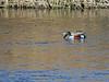 Cuchara común (Anas clypeata) (9) (eb3alfmiguel) Tags: aves agua acuaticas anátidas anatidae cuchara común anas clypeata patos del segre pájaro