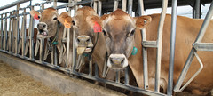Jersey cows_2827 (gosdin) Tags: tarleton dairy cows jersey feed