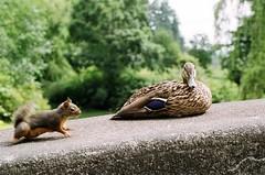 """""""Hey, No Double-Parking Here!"""" (FernShade) Tags: vancouver stanleypark lostlagoon mallard anasplatyrhynchos mallardduck femalemallard douglassquirrel tamiasciurusdouglasii animals wildlife nature outdoor squirrel birds ducks"""