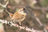 Troglodyte mignon (Corinne Ménardi) Tags: aves birds oiseaux passériformes troglodytemignon troglodytestroglodytes troglodytidae troglodytidés winterwren