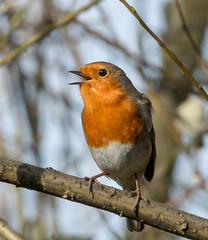 Singing Robin at Sevenoaks