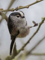 Hanging out with a snack (Chris Bainbridge1) Tags: aegithaloscaudatus longtailedtit eating sunflower seed