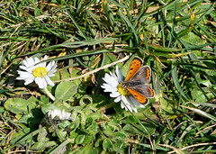 Small Copper (Lycaena phlaeas) (SteveJM2009) Tags: smallcopper lycaenaphlaeas march 2018 branksome beach dorset sunshine butterfly early sighting stevemaskell uk