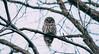 Barred Owl (Jacob Valerio) Tags: jake valerio jacob oak openings barred owl