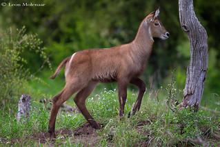 Waterbuck calf