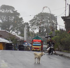 Bali Kintamani Road 20171201_130213 DSCN0176 (CanadaGood) Tags: asia seasia asean indonesia bali kintamani bangli building tree traffic animal dog motorcycle canadagood 2017 thisdecade color colour rain indonesian balinese vehicle