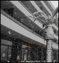 Date Palm During Torquay Blizzard