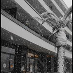 Date Palm During Torquay Blizzard thumbnail