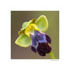 A universe in a flower (g.femenias) Tags: ophrysfusca ophrys orchid wildorchid nature macrophotography macro extensiontube