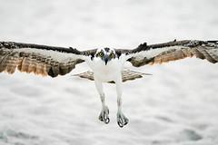 Incoming Osprey (BernieErnieJr) Tags: osprey raptor bernie duhamel bird birdsofprey florida naples naplesbeach greatphotographers teamsony overcast beach
