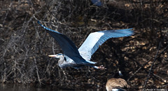 IMG_5416032018 (pavankumar.vadarevu) Tags: blue heron