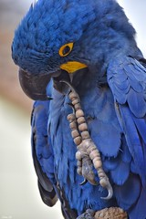 """I've got something stuck in my mouth""! (Nina_Ali) Tags: bird tropicalbirdland leicestershire desford blue nature march2018 beak feathers thehyacinthmacaw macaw avian"