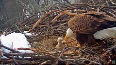 Early dinner for ECC3 & ECC4 (heights.18145) Tags: ecceaglecam washingtondc liberty justice ccncby ecc3 ecc4 eagles birds babies chicks