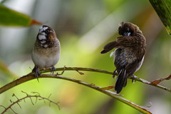 Grooming! (Alfred Grupstra) Tags: bird animal nature wildlife beak feather branch outdoors birdwatching animalsinthewild closeup perching tree beautyinnature cute small forest sparrow animalwing sitting