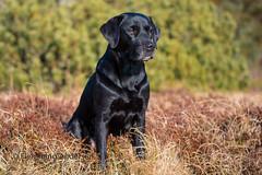 Buddy (Flemming Andersen) Tags: labrador dog outdoor buddy animal pet nature hurupthy northdenmarkregion denmark dk