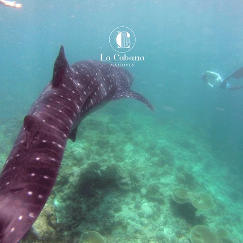 As the Maldivian Waters are quite clear, you will be able to see them quite closely and be really amazed at the sight of these amazing creatures as you swim by them gently. #Maldives #southariatoll #Diving https://t.co/1K9jLts22b