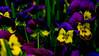 Are you talking to me? (evakongshavn) Tags: flowers flower stemorsblomst flora tinytreasuresinflora tinytreasures tiny colorful colors colours colourful spring springflowers pansy pansies