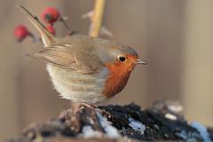 Robin e la neve (Marcello Giardinazzo) Tags: robin pettirosso uccelli avifauna birds bird natura wild italia neve