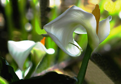 Calla Lillies at the Turtle Pond (iseedre) Tags: callalilies flower blossom stalks leaves shadows garden