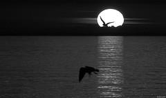 Daedalus and Icarus (KOSTAS PILOT) Tags: daedalusandicarus greekmythology seagull sun sunset horizon clouds sea bw blackandwhite bird mediterranean ionion patraikos patrassunset greece achaia peloponese kostaspilot sony sonyhx60 coast beach silhouette lightbeams light ελλάδα πελοπόννησοσ αχαιασ πατρασ πατρα ήλιοσ ηλιοβασίλεμα ηλιοβασίλεμαπατρασ πατρινοηλιοβασίλεμα ασπρόμαυρη παραλίαπατρων παραλία μεσόγειοσ ιονιον θάλασσα σιλουέτα φωσ γλαροσ ακτη μυθολογία ικαροσ δαίδαλοσ συννεφα ουρανόσ sky