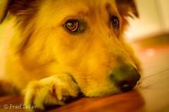 Just chillin. (fredc10) Tags: goldenretriever k9 buddy dog retreiver