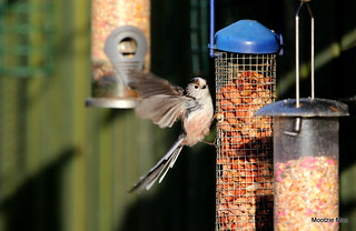 Flapping tit