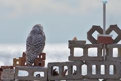 DSC_0050_edit (Hanzy2012) Tags: toronto ontario wildlife canada bird nikon d500 afsnikkor500mmf4difedii owl snowyowl buboscandiacus