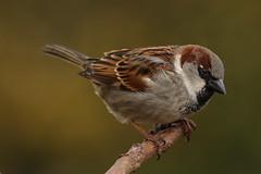Sparrow (Chris*Bolton) Tags: sparrow bird birds sparrows perch perched perching garden tree nature wildlife rathdrum wicklow ireland