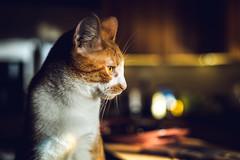 Cinematic Luke (Nicholas Erwin) Tags: luke animal pet cat kitten feline meow bokeh depthoffield dof cinematic light kitchen contrast colorful colourful orangetabby orangecat orange nikon d610 nikkor 5018g 50mm fav10 fav25