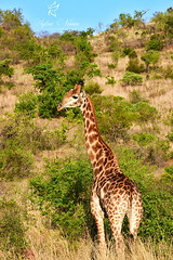 A giraffe in Pilansberg's park (Sylvie Nenan) Tags: safari giraffe animal landscape paysage girafe south africa green sun