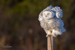Snowy Owls of New Jersey | 2017 - 38