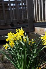 DSC_8931 (PeaTJay) Tags: nikon england uk gb royalberkshire reading winnersh flowers plants daffodils