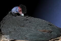 Crested Guinea Fowl (Debi Dalio) Tags: guineafowl bird animal animalportrait wildlife wildanimal portrait feathered feathers spotted