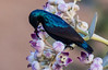 IMG_7302 (khalid gorchani) Tags: tair 3s 300mm f45 purple sunbird feeding flowers