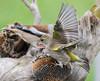 17 03 2018 (cathyk31) Tags: verdierdeurope oiseau carduelischloris europeangreenfinch fringillidés passériformes bird