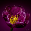 Purple tulip (Magda Banach) Tags: canon canon80d sigma150mmf28apomacrodghsm colors flora flower flowers macro nature plants purpletulip tulip tulips yellow