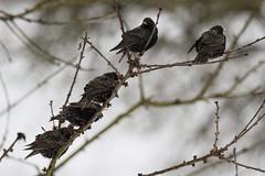 Stare / Starling (reipa59) Tags: pfalz nordpfalz vögel bird rheinlandpfalz nature birds natur ransweiler star vogel starling baum wintereinbruch ast winter schnee