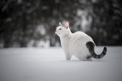 Mai Bei (Katarina Drezga) Tags: cats cat catphotography petphotography pets felines snow winter white