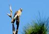 Red-shouldered Hawk (Buteo lineatus);  Punta Gorda, FL, Charlotte Harbor Environmental Center [Lou Feltz] (deserttoad) Tags: bird wildbird wildlife nature florida raptor buteo hawk tree snag behavior